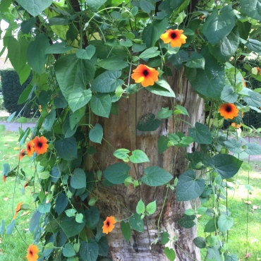 Clematis climbing up an ageing apple tree.