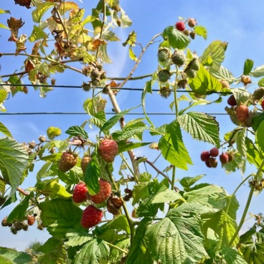 Stonepitts, Farm, summer, summer fruits, raspberries, PYO, Folking in the strawberries, Sevenoaks, Kent, England, UK
