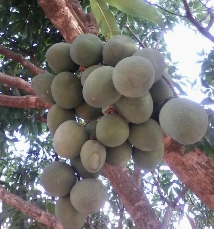 #malawi #mangoes #fruit #food #pulses #sustainability #stories